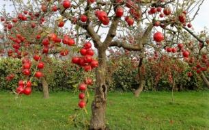 яблоня в яме с удобрением