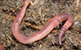 красный компостный червь