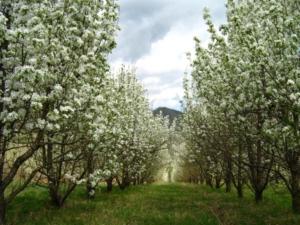 сидераты для сада и деревьев
