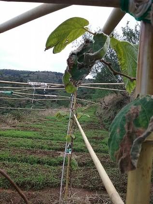 зелёные листья киви 1 мин