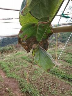 зелёные листья киви 2 мин
