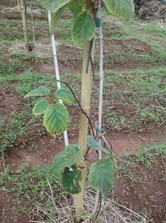 зелёные листья киви 4 мин