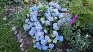 голубая гортензия фото
