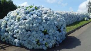 цветы гортензии и удобрения гортензии