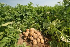 картофель и удобрение картофеля