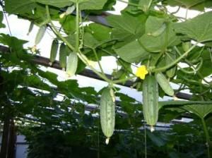 корневая система огурца, удобрение огурцов и выращивание огурцов