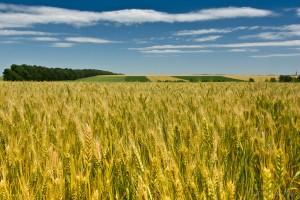 живлення рослин та добрива зернових