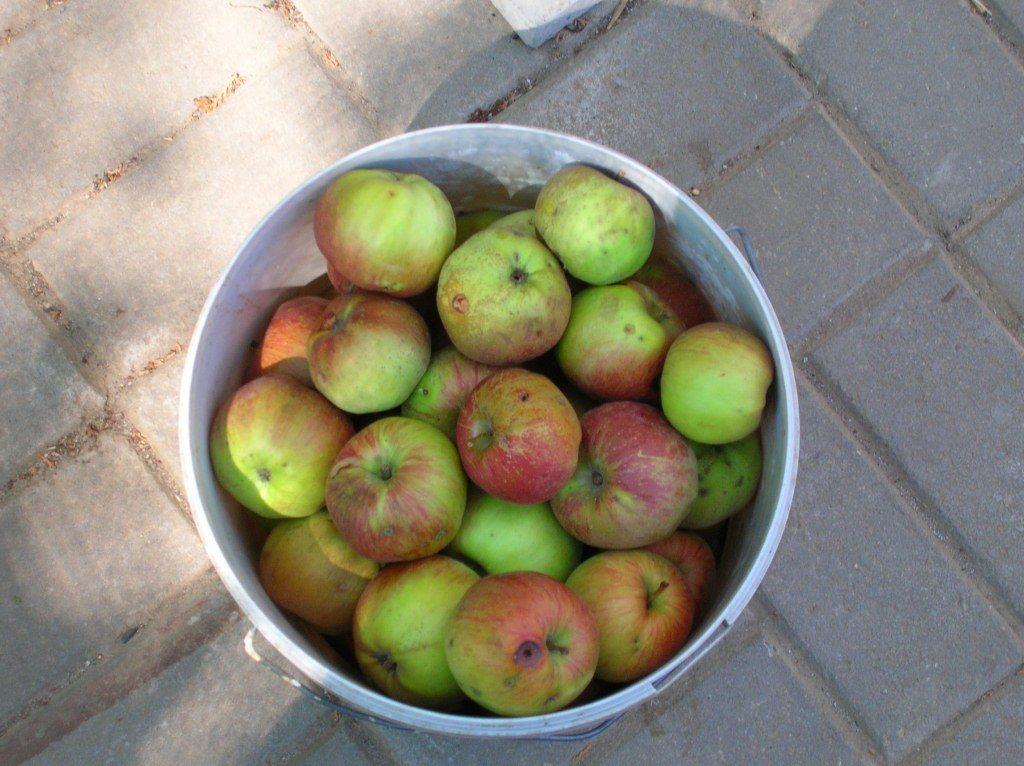 Как из яблок сделать сухофрукты 423