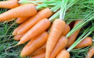 осенний посев моркови – подготовка почвы