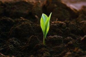 плодородие почвы, зеленый росток пнешицы