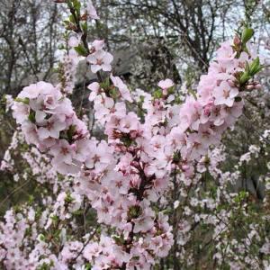 войлочная вишня цветёт фото